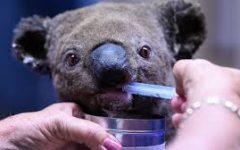 Are Koalas Nearing Extinction?